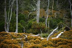 landscape with ferns (BlueMtsGrandma) Tags: cradlemountain tasmania fern bracken flowering