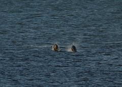IMG_5408 (monika.carrie) Tags: monikacarrie wildlife scotland aberdeen dolphins dolphin cetacean mammals