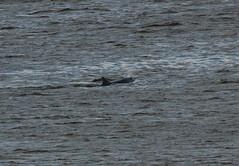IMG_5369 (monika.carrie) Tags: monikacarrie wildlife scotland aberdeen dolphins dolphin cetacean mammals