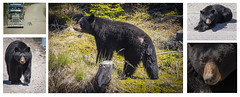 The Bear on the Lab (stevegilliesphoto) Tags: highway510 labrador newfoundlandandlabrador bear blackbear predator travel wildlife wood grass mammal animal rock tree
