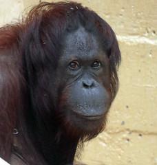orangutan Juwel  Ouwehands 094A0204 (j.a.kok) Tags: orangutan orang orangoetan animal aap ape asia azie mammal monkey mensaap primate primaat zoogdier dier sabbar ouwehands juwel