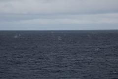 IMG_0312 (y.awanohara) Tags: humpbacks humpbackwhales whales whale southgeorgia scotiasea january2019 wildlife cetacean