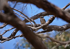 Sacred Kingfisher (James_Preece) Tags: sacredkingfisher