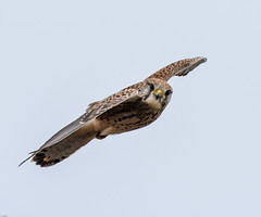 Kestral F00551 Marshside RSPB D210bob DSC_9862 (D210bob) Tags: kestral f00551 marshsiderspb d210bob dsc9862 nikond7200 birdphotography birdphotos naturephotography naturephotos nikon wildlifephotography nikon200500f56 rspb
