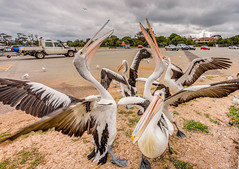 Uncontrollable rabble (Julie Holland photography) Tags: pelican pelecanusconspicillatus bird birdlife birdwatcher birdwatching birds beautiful