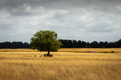 Sheltering under the tree (johnstewartnz) Tags: canon canonapsc apsc eos 100canon eosm efm1855mmf3556isstm 1855mm 1855 7thfebruary day038 field paddock tree grass sheep westmelton thompsonsroad evil tlp