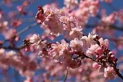 Sakura (Elbmaedchen) Tags: kirschblüte frühling zierkirsche spring springtime blüten hanami sakura cherry blossom