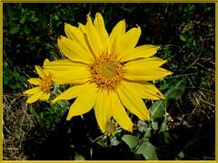 Arrowleaf Balsamroot [Balsmorhiza sagittata] (robinb44) Tags: balsamorhizasagittata asteraceae arrowleafbalsamroot osoyoos sunflowertribe aster asteracae okanagan britishcolumbia canada yellowflowers