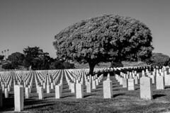 San Diego, Point Loma (Fort Rosecrans National Cemetery) (Tasmanian58) Tags: loma point cemetery rosecrans grave nb bw noirblanc blackwhite hill sandiego california usa pacific coast south trees