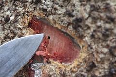 Ambrosia beetle hole in Acacia koa (J. B. Friday) Tags: volcano hawaiivolcanoesnationalpark maunaloa fire wildfire scolytinae ambrosiabeetle barkbeetle frass acaciakoa