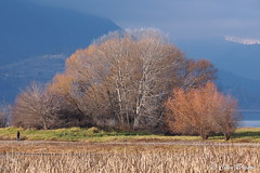Trees on Christmas Island (November), Salmon Arm, BC (clive_bryson) Tags: christmasisland trees shuswap salmonarm britishcolumbia canada november clivebryson