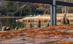 Die Wurzeln stehen (KaAuenwasser) Tags: sumpfzypressen schlossgarten karlsruhe baum bäume see wasser weg geländer anlage garten pflanzen winter blätter nadeln