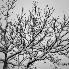 Snow 2 (justingreen19) Tags: england ricoh ricohgrii seasons suffolk branches cold contrast freshsnow justingreen19 mono snow square treebranches trees urban urbanabstract weather white winter