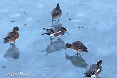 American Wigeon on ice at Salmon Arm Bay, BC (clive_bryson) Tags: americanwigeon bird ice salmonarmbay britishcolumbia canada clivebryson