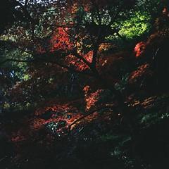 Maples (bdrc) Tags: agfa isolette ii agnar 85mm f45 manual prime vintage relic classic raw noedit film 6x6 square mediumformat fujifilm fujicolor asdgraphy malaysiaphotographer japan travel asia osaka minoo park nature trees leaves autumn maple momiji leaf