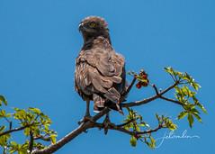 brown snake eagle _DSC7869 (jetomlin) Tags: krugernationalpark southafrica brownsnakeeagle safari