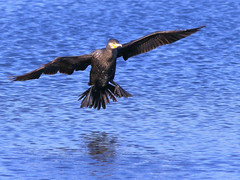 Cormorant (robin denton) Tags: farings lincolnshirewildlifetrust wildlifetrust bird cormorant nature wildlife phalacrocoraxcarbo