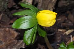 A Winter Aconite flower in the opening phase. (Bienenwabe) Tags: winteraconite aconite flower macro flowermacro eranthis eranthishyemalis winterling asteraceae spring springflowers
