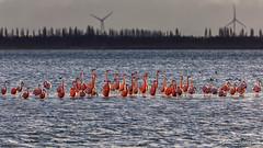 Flamingo's @ Goeree-Overflakkee (BraCom (Bram)) Tags: 169 battenoord bracom bramvanbroekhoven flamingo goereeoverflakkee grevelingenmeer herkingen holland nederland netherlands southholland zuidholland birds flamingos lake meer overwinteren silhouetten silhouettes sky vogels water widescreen windmill windmolen winter natureinfocusgroup
