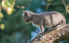Kika (09) (Vlado Ferenčić) Tags: kitty kika catsdogs cats kittens animals animalplanet vladoferencic pets vladimirferencic hrvatska zagorje hrvatskozagorje nikond600 tamron9028