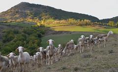 Brebis millavoises (Michel Seguret Thanks for 13.6 M views !!!) Tags: france nature aveyron automne autumn fall michelseguret nikon d800 pro