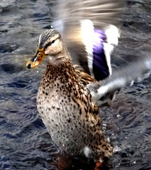 Excited duck (EcoSnake) Tags: ducks mallards wildlife waterfowl wings january winter idahofishandgame naturecenter