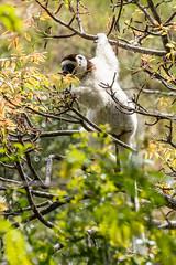 Larvensifaka (rooibusch) Tags: isalonationalpark madagaskar lemur sifaka