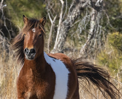 wind blown (Deb Felmey) Tags: pony horse horses wildhorses assateague wild nature animals
