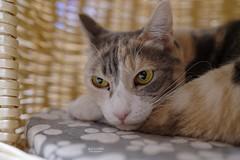 A7R3__DSC2182_DxO (Bazoka+Cynthia) Tags: pupu 小婆 新北市 樹林區 貓 cat