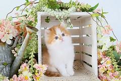 Cute kitten pictures (dollfacepersiankittens.com) Tags: kittens for sale doll face persian photography persians cutekittenpictures cutecatpictures cutekittens cutecats luxury feline animals cats catsofinstagram