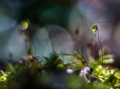 Enchanted Mossy Forest (Don White (Burnaby)) Tags: 10mm centralpark extensiontube flowersplants macro nikon50mm18d bokeh sporophytes