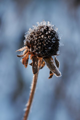Cold indeed, and labor lost: Then farewell heat, and welcome frost! (Dan Haug) Tags: williamshakespeare frost blackeyedsusan macro monday solitary hmm frosty upclose crystals xt3 xf80mm xf80mmf28rlmoiswrmacro