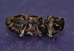 Mandalay broad-nosed  fungus weevil Platystomos sp Anthribidae Curculionidae Airlie Beach rainforest P1450040 (Steve & Alison1) Tags: mandalay broadnosed fungus weevil platystomos sp anthribidae curculionidae airlie beach rainforest