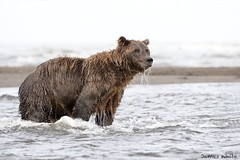 Brown Bear (Jims Wildlife) Tags: lakeclarknationalpark alaska brownbear ursusarctoshorribilis
