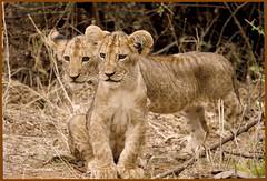 _MG_9545 (alina bidjelova) Tags: lioncubs safari samburu kenya