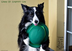 I take my hat off to you... (ASHA THE BORDER COLLiE) Tags: st patricks day dogtricks bowler hat green border collie dog funny quote ashathestarofcountydown connie kells county down photography