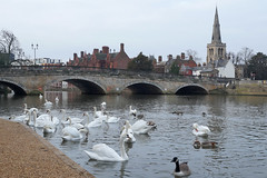 The Great Ouse - Bedford (Neil Pulling) Tags: greatouse river riverside bedford england uk swans