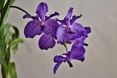 amanda (Hugo von Schreck) Tags: hugovonschreck flower blume blüte amanda canoneos600d givemefive tamronspaf90mmf28dimacro11