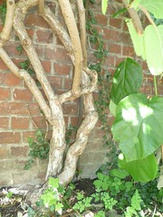 Kiwiplant (Groene Gevels) Tags: abdij averbode kiwiplant