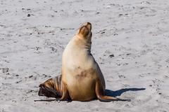 Sea Lion, Kangaroo Island, South Australia (1daveclarke) Tags: sea lion kangaroo island australia