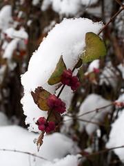 piros hóbogyó / coralberry (debreczeniemoke) Tags: tél winter hó snow fehér white erdő forest bokor bush bogyó fruit piroshóbogyó coralberry symphoricarposorbiculatus loncfélék caprifoliaceae olympusem5
