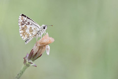 Oberthür's Grizzled Skipper (Alex Perry Wildlife Photography) Tags: oberthürsgrizzledskipper skipper pyrgus pyrgusarmoricanus hesperiidae butterfly butterflyphotography macro macrophotography insect wildlifephotography alexperry alexperryphotography pirin bulgaria
