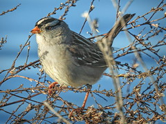 White-crowned Sparrow (randyherring) Tags: ca california centralcaliforniavalley cosumnesriverpreserve elkgrove afternoon aquaticbird nature outdoor recreational waterfowl wetlands