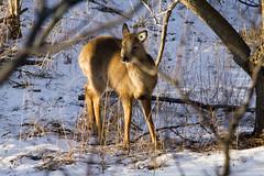 IMG_2059_1 (Aaron Hoff) Tags: animals deer