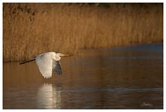 Great White Egret. Ham Wall RSPB, Glastonbury. (....Daniel....) Tags: great egret nikond800e nikkor200500f56 glastonbury hamwall winter