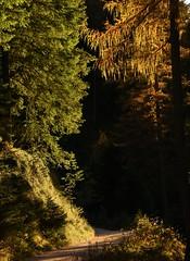 Rosengartengebiet, Catinaccio - Wanderung durch das Tschamintal; Südtirol, Italien (608a) (Chironius) Tags: alpen dolomiten italien dolomiti berg mountains landschaft baum bäume tree trees arbre дерево árbol arbres деревья árboles albero árvore ağaç boom träd gröden altoadige herbst herfst autumn autunno efteråret otoño höst jesień осень mountain gebirge wald forest forêt лес bosque skov las sonnenuntergang закат dämmerung dusk schemering crépuscule crepuscolo abend evening abends rosengarten südtirol gegenlicht coniferales koniferen pinaceae kieferngewächse laricoideae lärchen larix piceoideae fichten picea