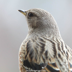 Portrait d'accenteur alpin (fauneetnature) Tags: portraitanimalier accenteuralpin alpes alps alpineaccentor animalier animal ornithologie ornithology oiseau bird faune nature naturephotography photonature photoanimalière animalsphotography savoie maurienne