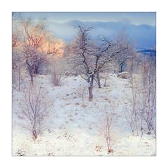 Orange and Blue (gerainte1) Tags: hasselblad501 portra160 film colour woodland yorkshiredales winter snow orange blue trees