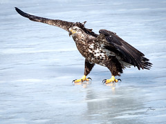 This way-3170343-2 (Diane- My Diversions) Tags: bald eagle immature