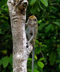 monkey (Ignati) Tags: kinabatanganriver kinabatangan malaysia borneo sabah jungle river forest creature animal wildanimal tree trees monkey mammal